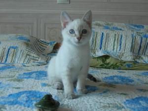 Бланка котенок